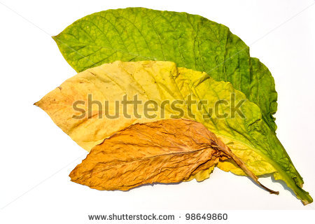 stock-photo-tobacco-leaf-form-garden-of-thailand-98649860